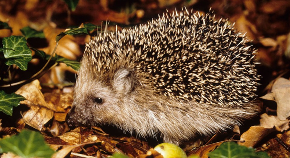 Igel. Copyright: LWL, Siebert